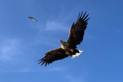 The sea eagle Elisabeth catches first thrown from a boat
